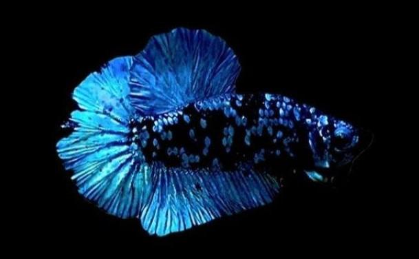 Ikan Cupang Avatar, Ikan Peliharaan Berkelas yang Istimewa