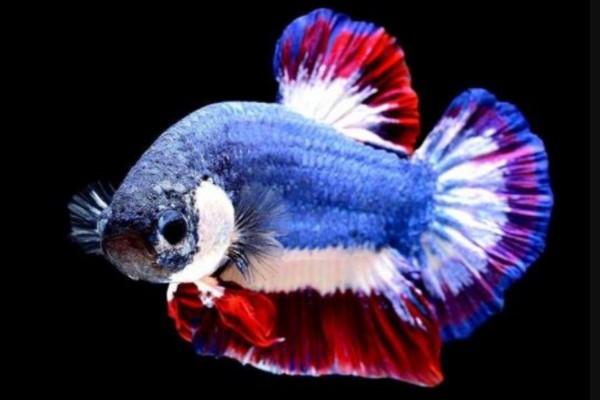 Daftar 10 Jenis Ikan Cupang Termahal