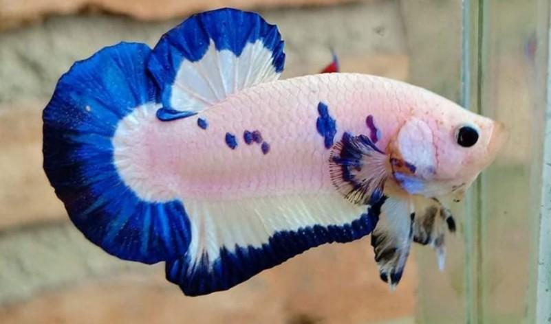Punya Harga yang Fantastis, Ini Dia Ikan Cupang Blue Rim