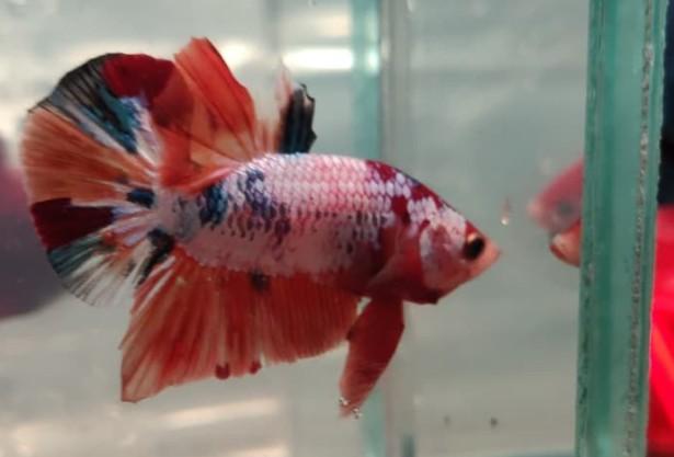 Ikan Cupang Nemo Bernilai Jutaan Rupiah Namun Banyak Dilirik